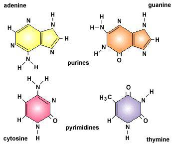 nucleotides dna